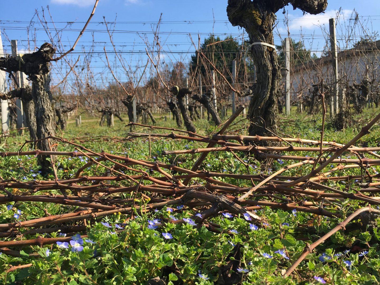 Sarments déposés dans les vignes - © C. Decoster, Château Fleur Cardinale