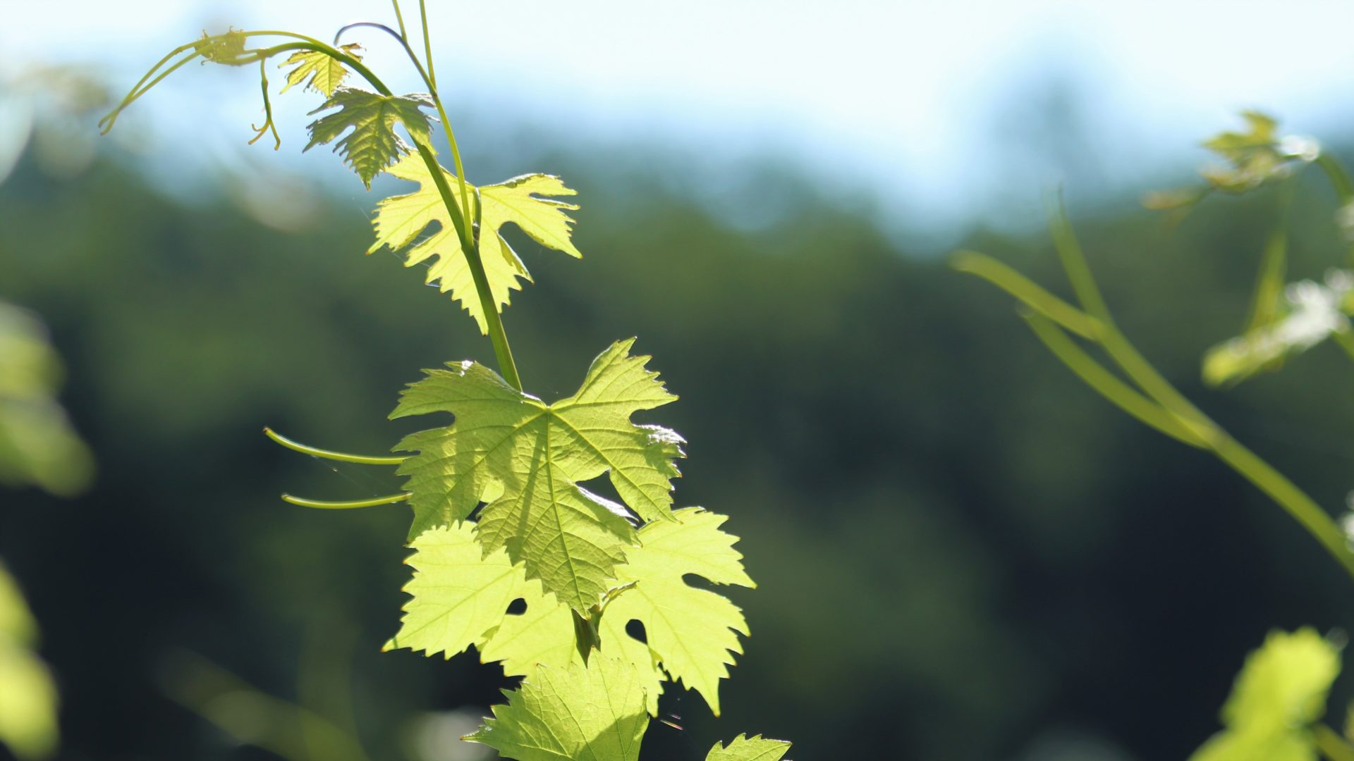 La vigne - © C. Decoster, Château Fleur Cardinale